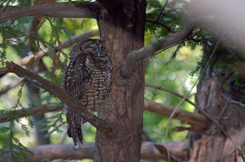 When we finally got to the right location, Joan and I couldn't believe we were looking at a spotted owl.  This is the male.  He hunts at night and guards his nest in the daytime.