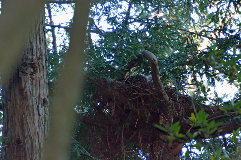 Here's the nest.  If you look closely, you'll see the female peeking over the edge.  She's brooding eggs, but we don't know when they might hatch.  There are at least 4 other nests in this part of the forest, but they don't appear to be occupied.