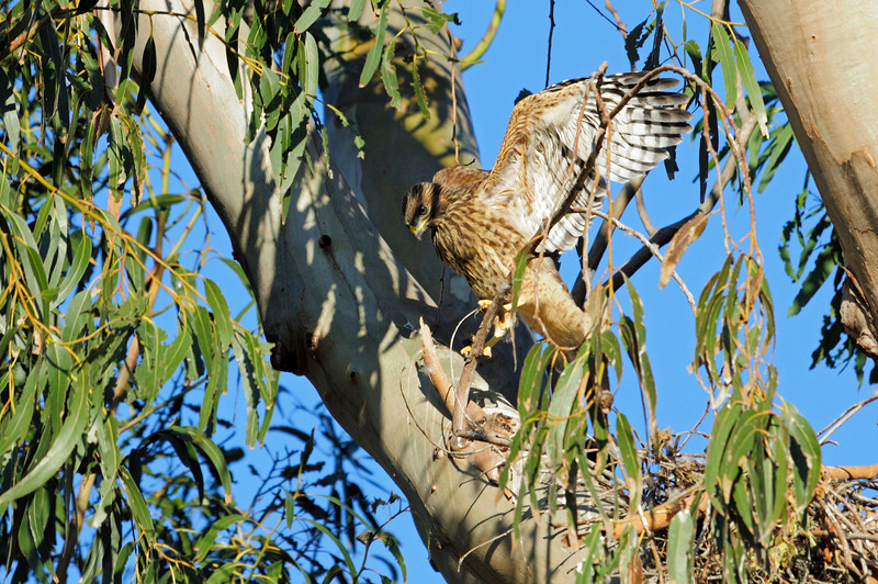 """Next morning at the red-shouldered hawk nest.  All 3 young ones were out and about.  This is the littlest one, """"Joan""""."""