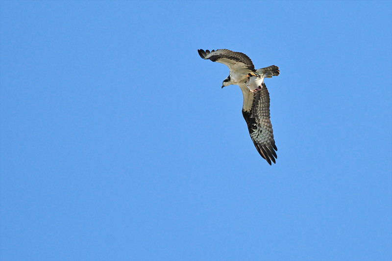 An osprey flew above us heading for his/her nest with a colorful fish.