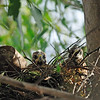 2 of the red shouldered hawk chicks staring at me from the back of the nest.