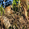 May 29. There are still 3 chicks in the nest, but one is hidden in the back.