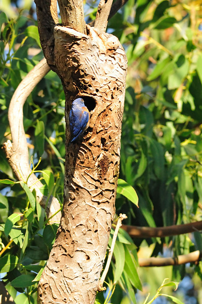 This location right in a parking lot is very rich in birdlife.  In addition to the hawks and woodpeckers, bluebirds nest here.  This is the dad returning to feed his brood.  Both bluebird parents continuously feed their babies during the day.  Their nest is WAY up in a tall tree.
