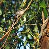 Baby Nuttall Woodpecker.