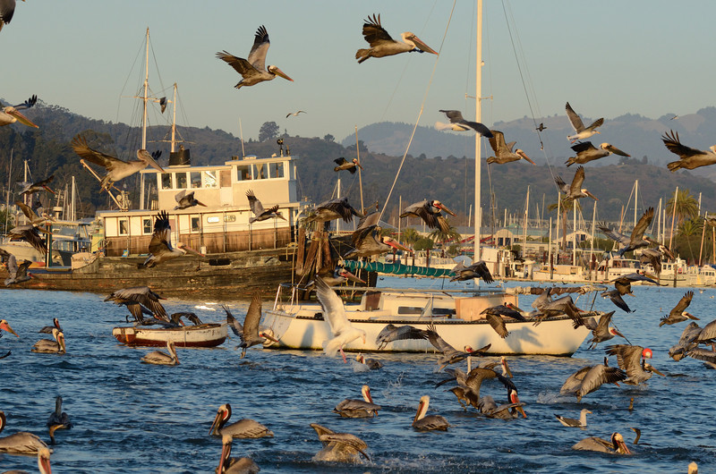 It's been several years since pelicans last came en masse to Sausalito in the winter.   The reason they used to come was to feed on herring, but the herring disappeared, so the pelicans went elsewhere.  This year, the herring have returned in spades.  I believe we have conservation efforts to thank for this.  The pelicans roost in the Sausalito Harbor, and at first light go out in search of food.  This morning was a real bonanza... the herring were running right next to the boat docks.  It literally rained pelicans right in front of the camera.
