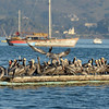 I arrived at 6:45 AM when it was nearly dark, but the pelicans had already begun fishing.  They circled the harbor in great droves plucking herring out by the beakful. By 8:15 AM, it was over and the pelicans had returned to their many roosting spots throughout the harbor to rest up for the next run.