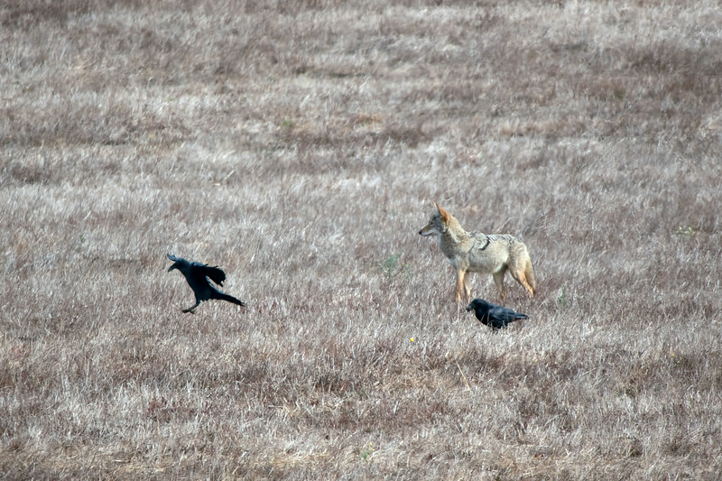 Way distant coyote