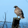 I believe this is a broad-sided hawk