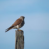 On our way home, we had the closest encounter with a kestrel I've every had.  And the kestrel was patient.  And in good light.  Still fiddling with the new camera, my focus was off for the entire kestrel sequence.  The pole looks great, though :)