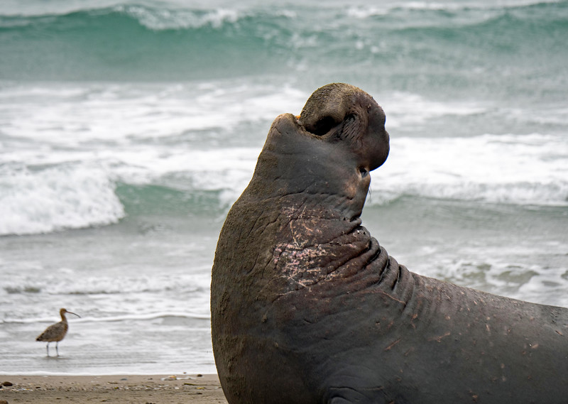 During the government shutdown in late 2018, elephant seals took over Drake's Beach, a very popular tourist spot in Point Reyes National Seashore.  This year the rangers were back, so many of the seals were driven away from this beach to others a bit further north.  A few hardy males and the occasional female did try to take up residence at Drake's Beach, but no pups were born.  First 2 shots were taken in late December, 2019.