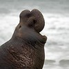 I just read that 99% of male elephant seals will never mate.  Guess it takes a very special elephant seal to become a harem master.