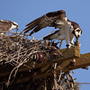 The story of ospreys along the Bay in Richmond is a good one.  Humans built platforms such as this one and the ospreys came.  Ospreys were being driven from their natural nests along the reservoirs in Marin County by bald eagles and needed new nesting sites (the slight downside of an otherwise amazing conservation story).  Humans came through for the ospreys and now they're flourishing in Richmond.