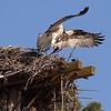 The almost-hidden osprey on the left is the male.  He'd eaten the head off the fish he brought the female, then rested while she ate the body..  The female's general agitation, her very brief fly-off, and the fact that the male brought her food, all indicate there are eggs in the nest.