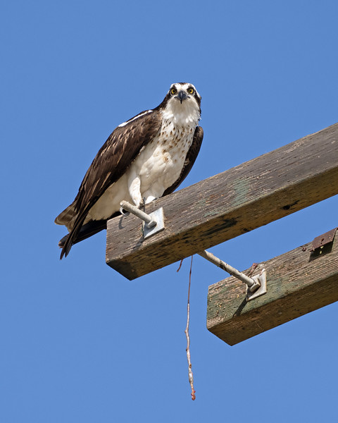 They're back!  Ospreys have been repairing and improving their nests in Richmond, Ca, for the past month.  Although they may travel separately once their chicks have fledged, ospreys mate for life and return to the same nest year after year.   Once again, there are 3 active nests along a 1-mile stretch of barely paved bay-frontage road.<br /> <br /> Photos sorted chronologically beginning with shots taken April 6.