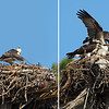 As soon as one of the chicks saw a parent approaching with dinner, it flew back to the nest.  Arrival captured in 2 shots above.