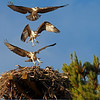 This is a 3-shot composite of one of the hovering chick coming in for a landing