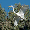 Great egret bringing nesting material back to his mate.