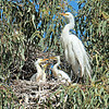 Note the curved beak on the smallest chick.  I didn't return to the rookery after this day, but my friend did.  When she arrived about 2 weeks after our initial visit, this nest had just one large chick remaining.  It's not unusual for larger egret chicks to kill smaller, weaker siblings.  Also, chicks often fall out of their nests.  At this site, many volunteers pick up the fallen chicks and take them to a rescue center.  I'm hoping that's what happened with these chicks.