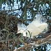 Snowy egret display