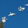 Most egrets were still improving their nests.  (4-shot composite)