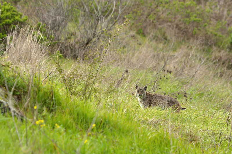 "(Saturday, March 26, 2011)  Fast forward to Saturday.  Joan and Kathy arrived around 3:00 PM.  Somewhere down a wide trail, Joan spotted ""Trail Cat"", aka ""DeNiro"".  I arrived about an hour later, just in time to see Trail Cat climb over the hill and head to the meadow behind the parking lot.  Trail Cat is a favorite of photographers because he's quite accustomed to humans and allows us to observe him from close range.  However, on Saturday he kept his distance."