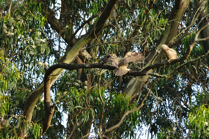 The first owlet flew over to join the other one in a tree near where their mother was keeping a watchful eye on us.