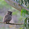 Great horned owl.  We didn't know it at the time, but she was raising a family of 2 owlets who weren't far away.