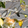 The dullest-colored hummingbird I've ever seen.  Must be a very young one.