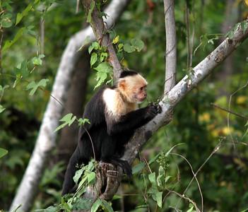 White face Monkey CostaRica