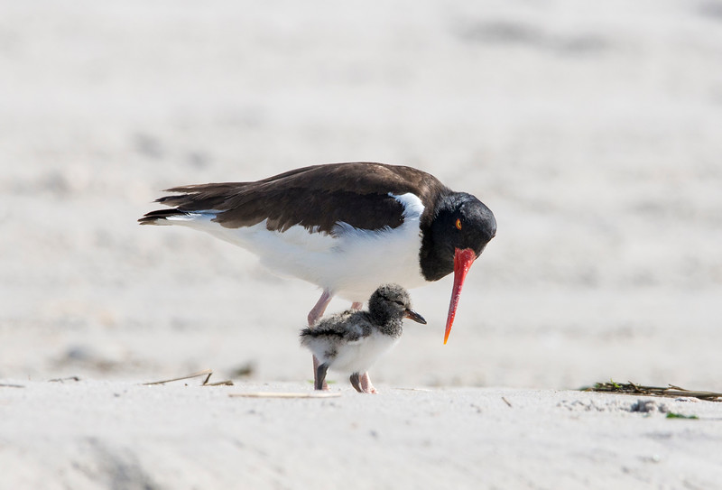 Oystercatcher and chick_8133