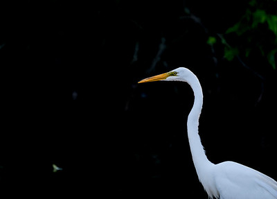 Portrait of an Egret_6119