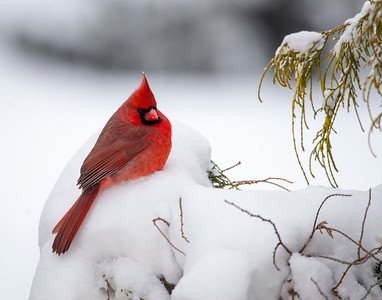 Male Cardinal_5596