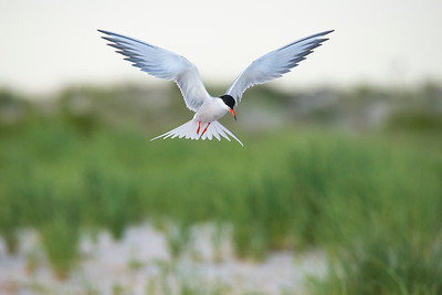 Angel Tern