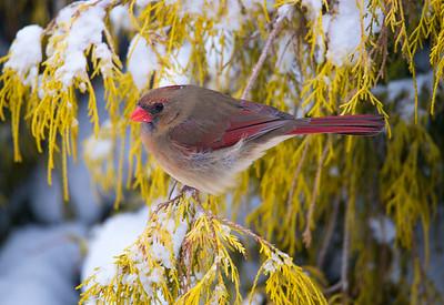 Female Cardinal_5599