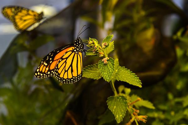 Monaque Butterfly