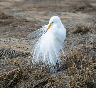 Egret in a Vail