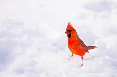 Cardinal at Morton_5877