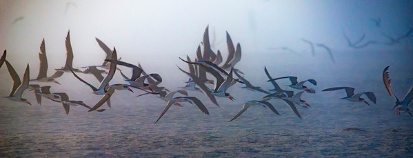 Flock of Skimmers_1185