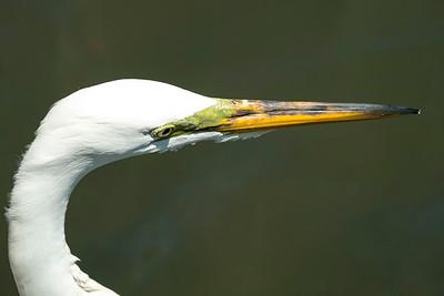 Portrait of an Egret
