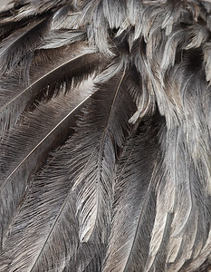 Feathers (of an emu)