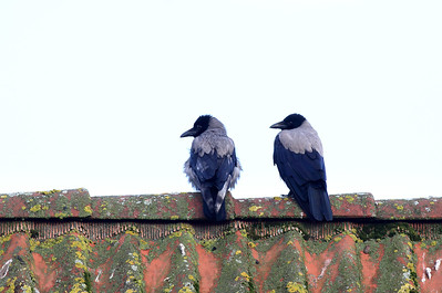 A couple of crows