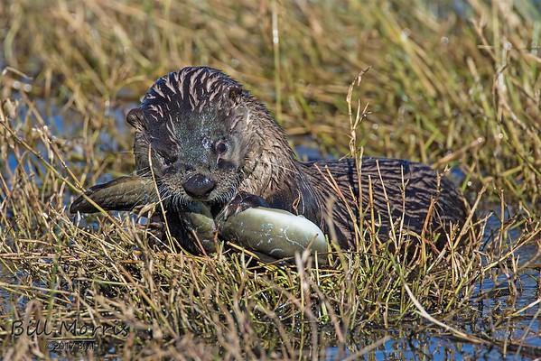 Otter eating