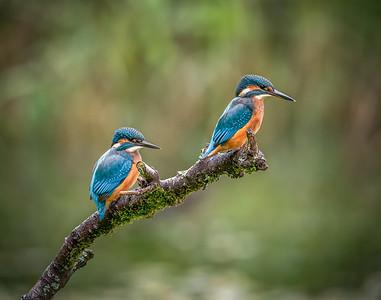 Kingfishers.  Forest Farm, Cardiff