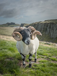 Ram by Hadrian's Wall
