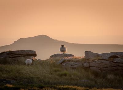 Guardian sheep, Dartmoor