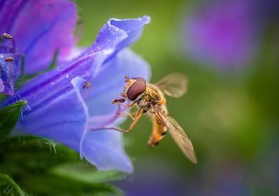 Hover fly macro shot