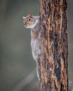 Grey Squirrel, Forest Farm, Cardiff