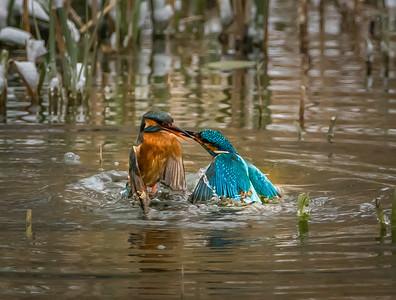 Fighting Kingfishers