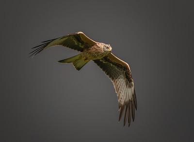Red Kite, Llanddeusant