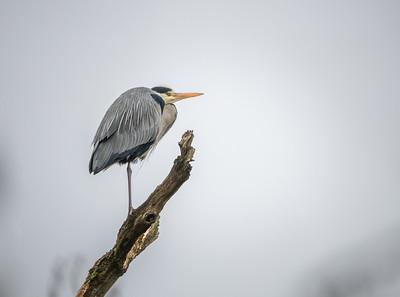 Grey Heron, Forest Farm, Cardiff